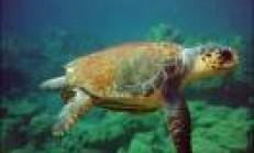 Deniz Kaplumbağasının Yağı