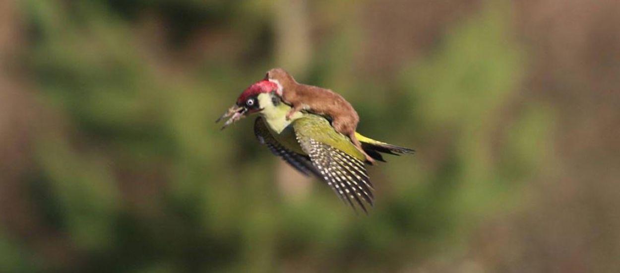 Gelincik ile ağaçkakanın savaşı