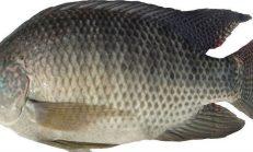 Bu Balığı Sakın Yemeyin Sağlığınız İçin Çok Tehlikeli
