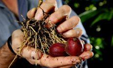 Kanseri Önleyen ve Kanser Hücrelerini Öldüren Tek Meyve