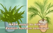 NASA Onaylı; Odadaki Zararlı Toksinleri ve karbondioksidi sünger gibi emen bitkiler mutlaka evinizde olmalı